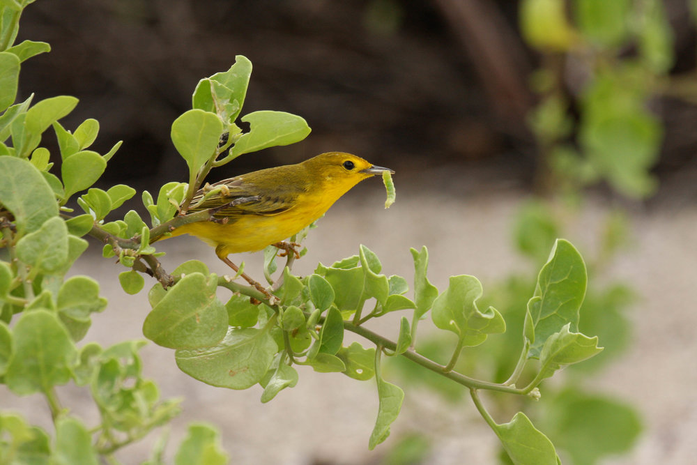Galápagos Mangrove Warbler/Yellow Warbler
