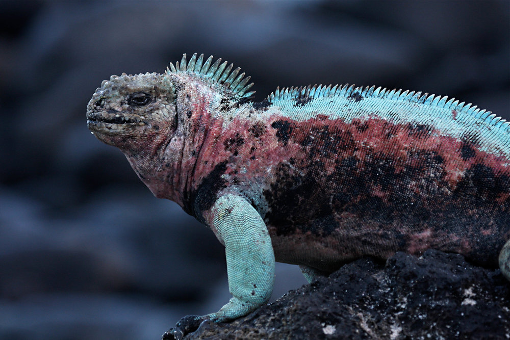 Marine Iguana, Española Island