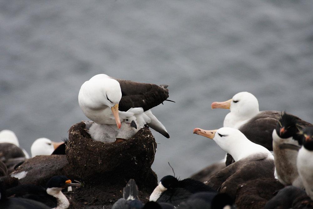 black-browed albatross, shags and rockhoppers in close quarters...