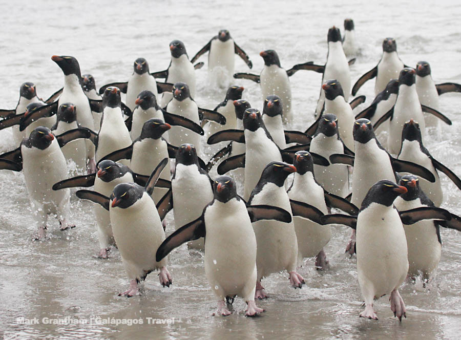 Rockhopper Penguins coming ashore