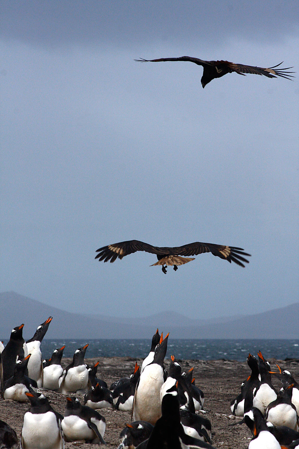 Gentoo Penguin and Skua confrontation