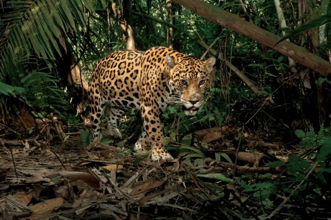 jaguar panther