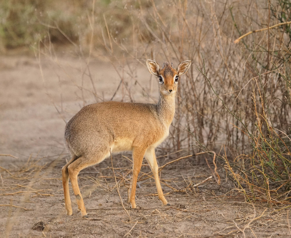 Dik-dik are among the smallest antelope, standing little more than a foot tall at the shoulder.