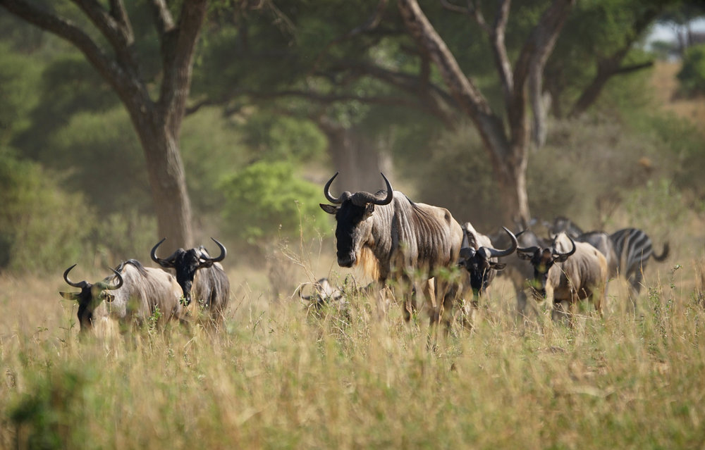Wildebeest & Zebras are often found together