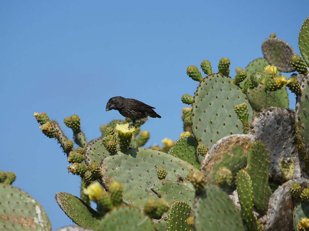 Darwin's Large Ground Finch (male)