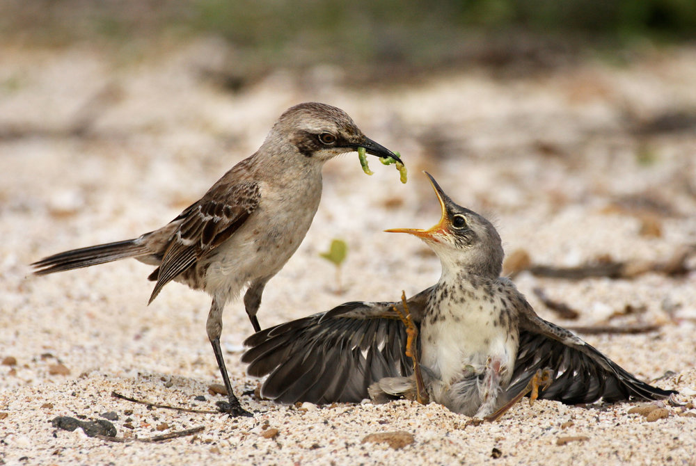 Chatham mockingbird and chick