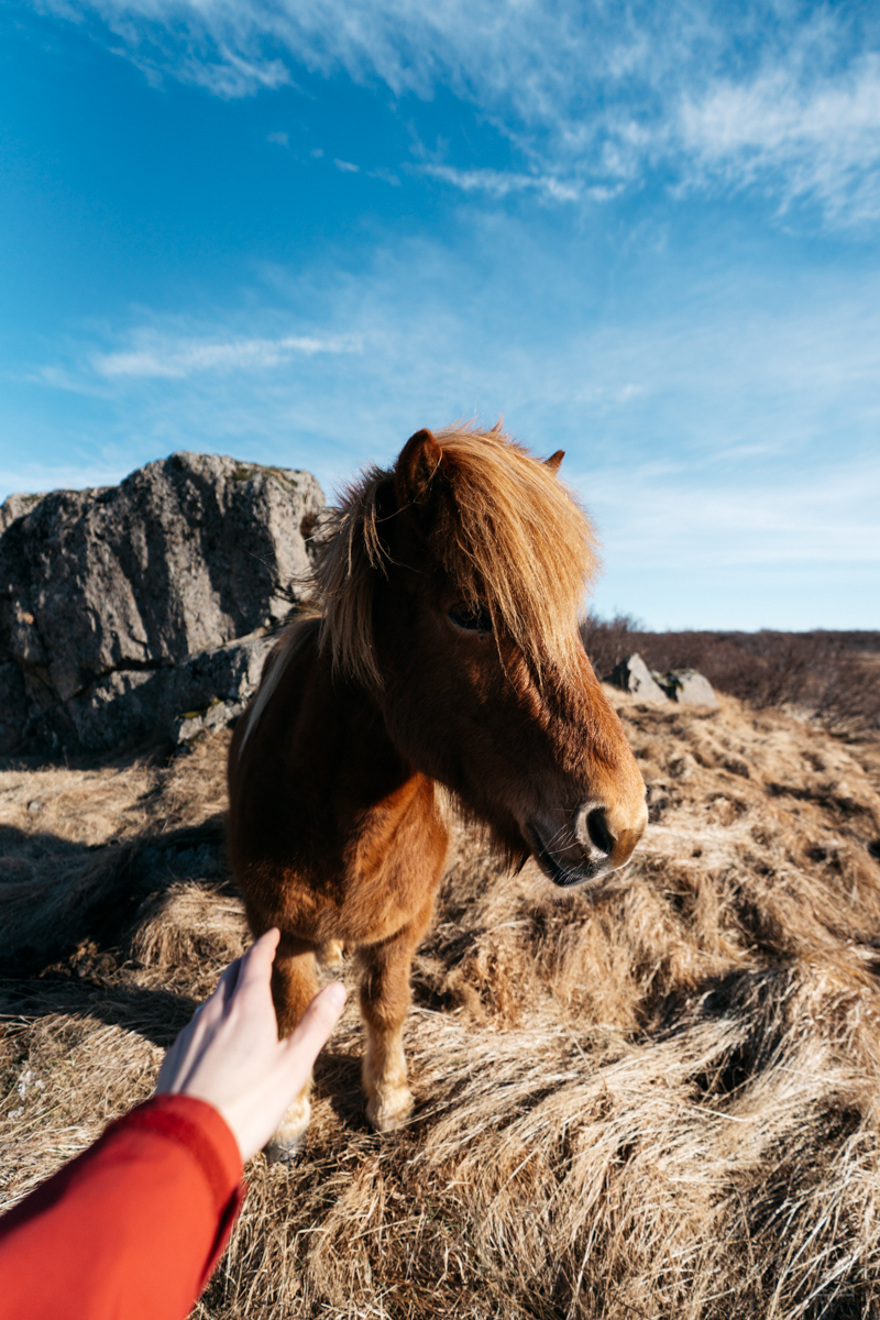 Trying to pet a horse in Iceland