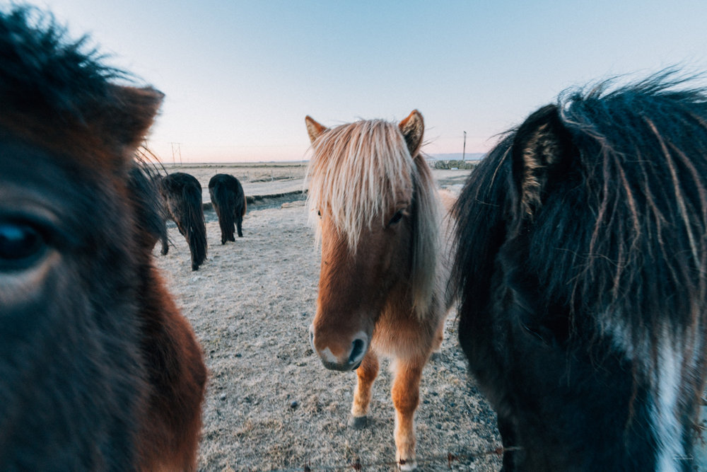 Icelandic ponies coming to say hello