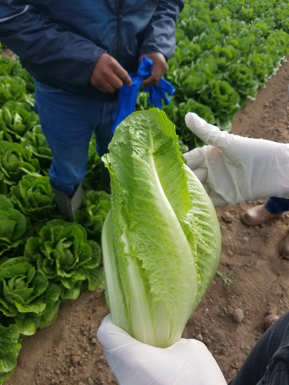 Perfectly Edible Twisted Romaine