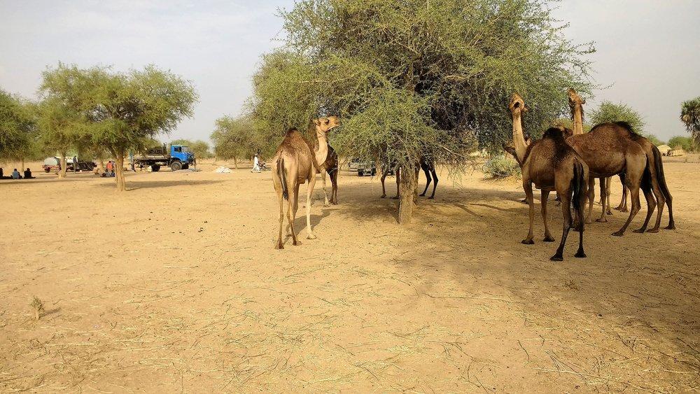 camels 1.jpg