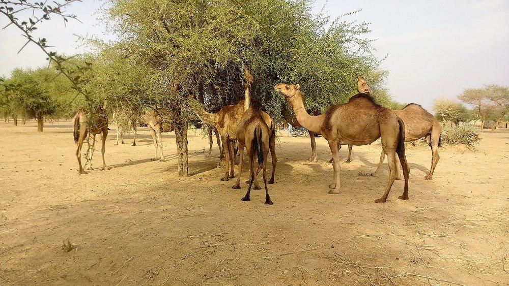 camels 2.jpg