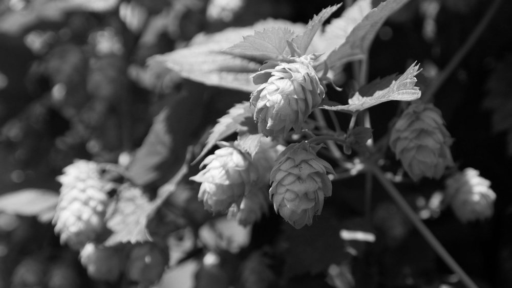 hops for craft beer