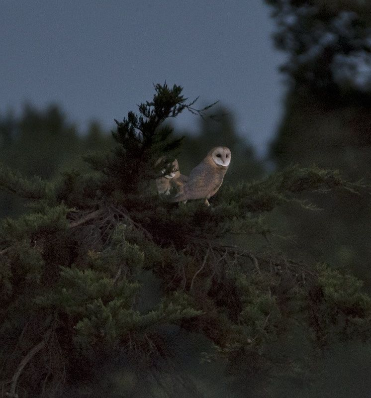 Barn Owls - Photo by Stefan Thuilot