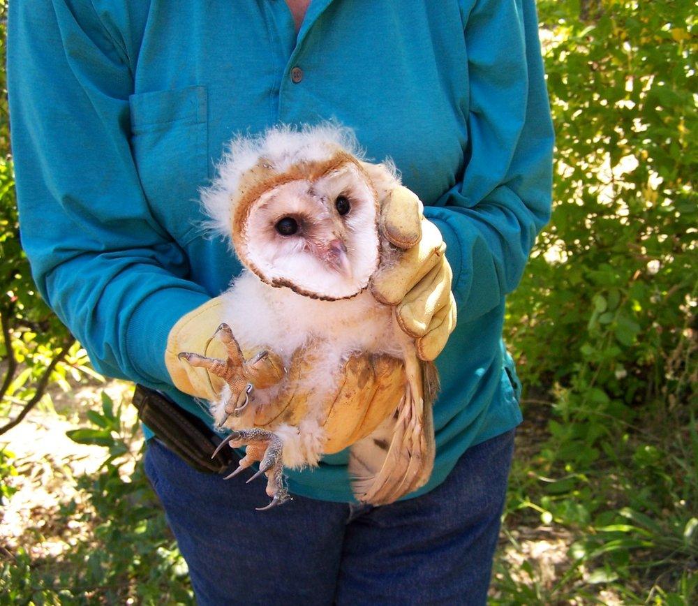 Rescued Barn Owlet about to be reunited with its family