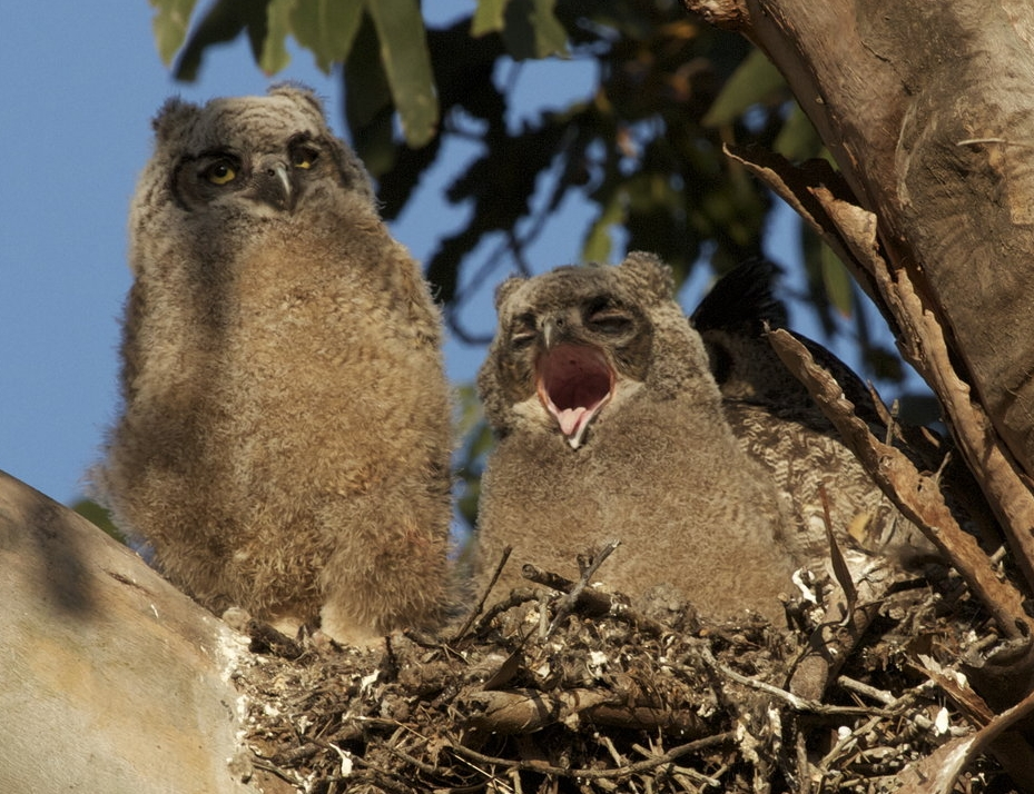 A Great Horned Owl chick yawns after being reunited with its family