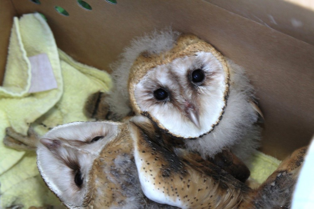 Rescued Barn Owl chicks
