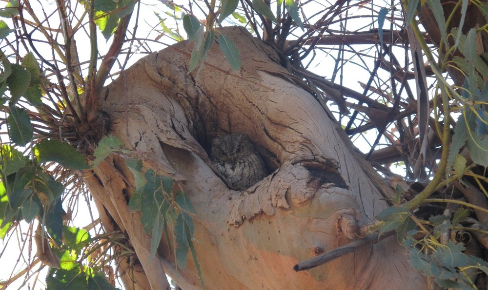 Western Screech Owl in a small cavity in a Eucalyptus Tree