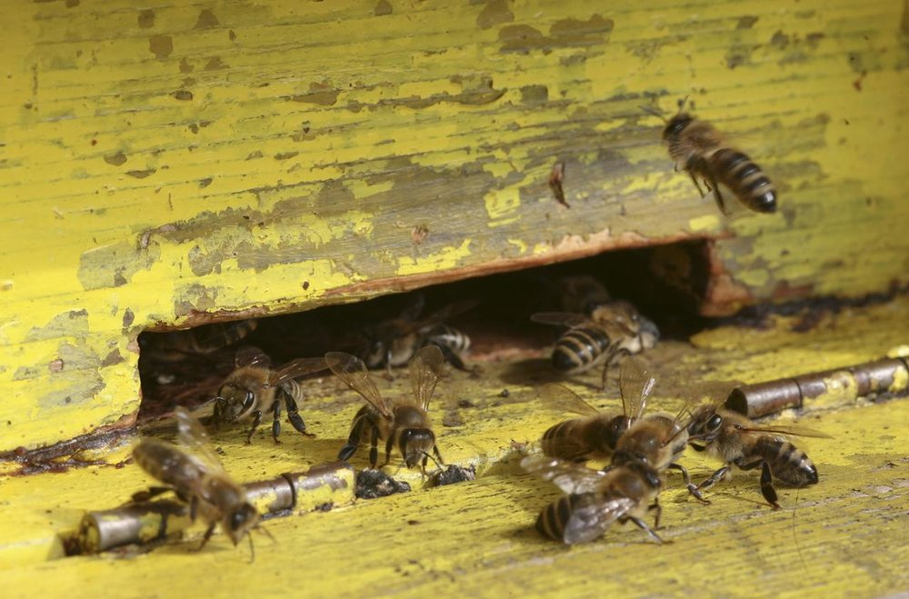 čebele.jpg