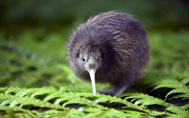 Kiwi-bird-page.jpg