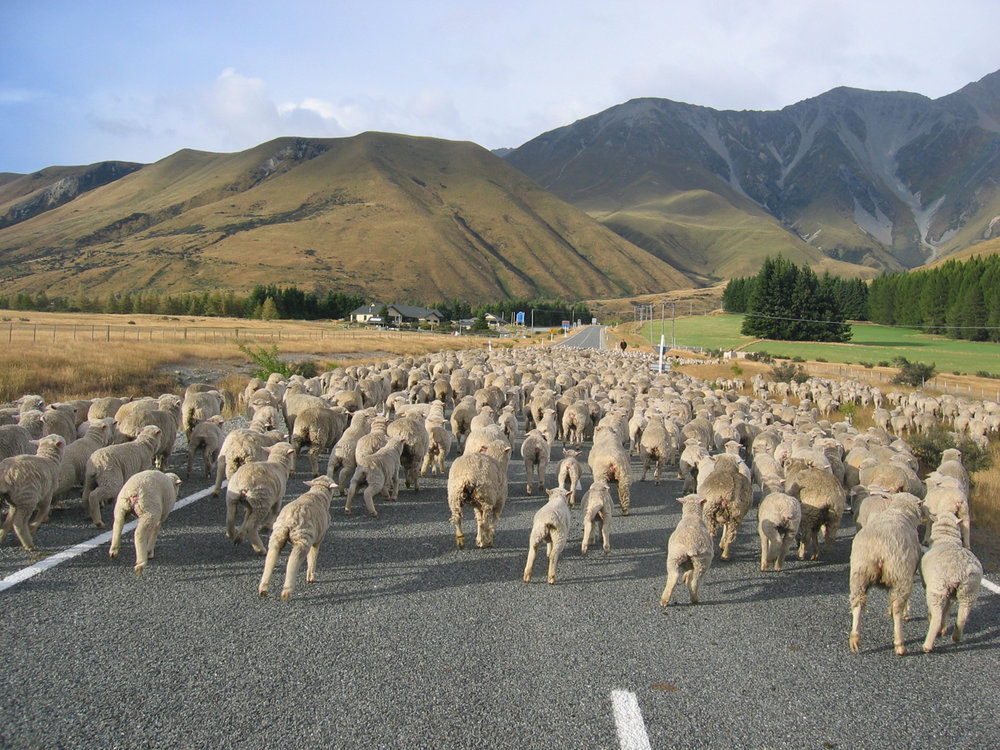 sheep-crossing-new-zealand.jpg