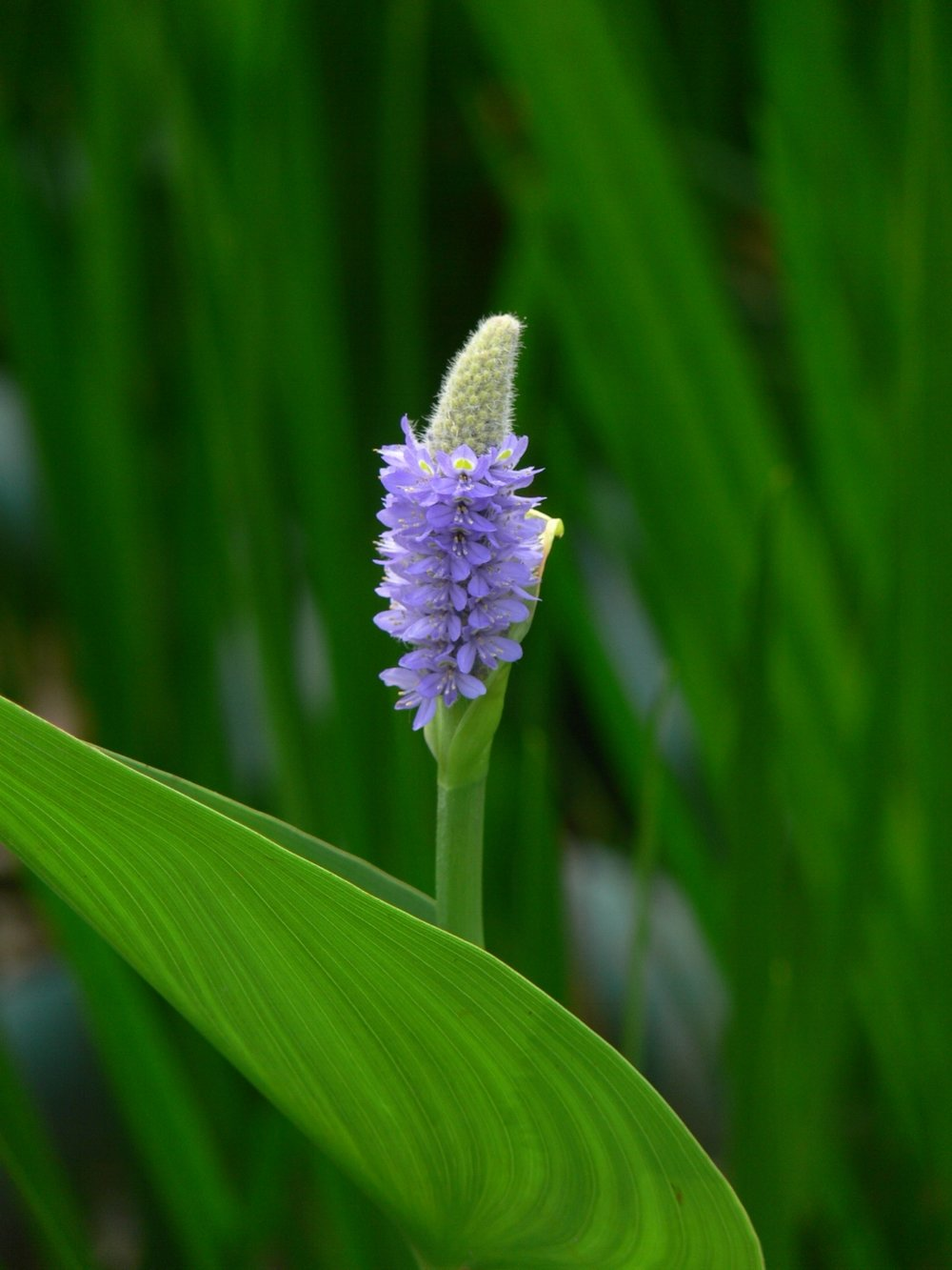 Flower of  Pontederia cordata  (Pickerelweed)