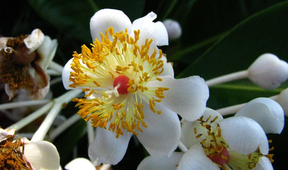 Tamanu tree blooms (Image courtesy of Bustle.com)