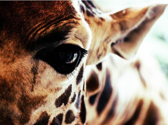 Giraffe-eye.jpg