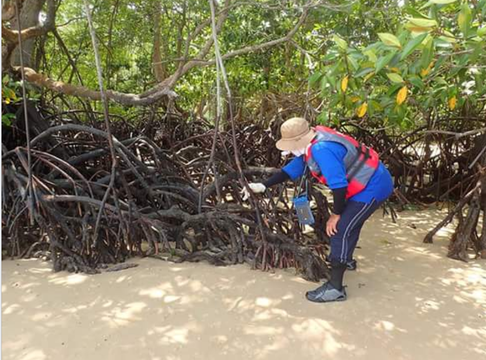 'Medical checkup' on Ubin mangroves by volunteers