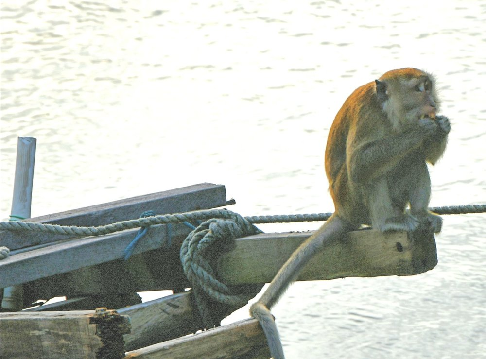 Resident Monkeys - they visit the kampong houses regularly
