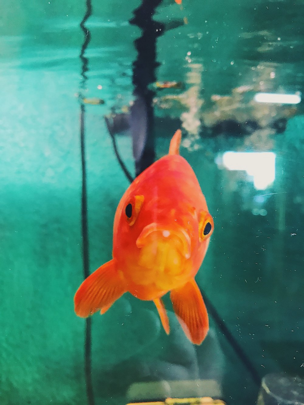 Patrick the Gold Fish