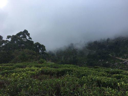 TeaPlantation.JPG