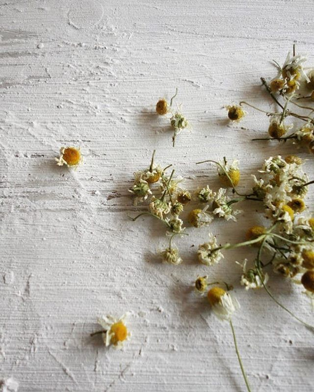 Chamomile. These dainty little flowers have been making their way into kitchens for thousands of years, bringing with them a long list of health benefits ranging from a digestive aid, stress reliever, allergy reducer, healing of skin ailments, immune booster, to a lovely garnish for salads or beverages. And we all know their most common use of being a house hold tea. They grow heartily in cooler regions with dry soil, allowing a wide array of places for them to thrive. We are looking forward to incorporating more of these types of multi-beneficial plants into our own gardens. . Photograph by @windypeakvintge