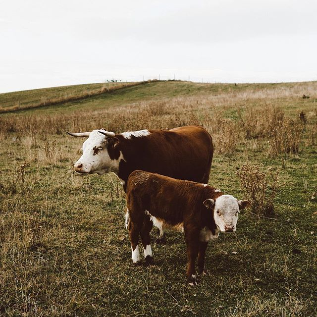 Regenerative ranching meets Mini Hereford Cattle in the Mission Valley. . Photograph by @laurenlphoto