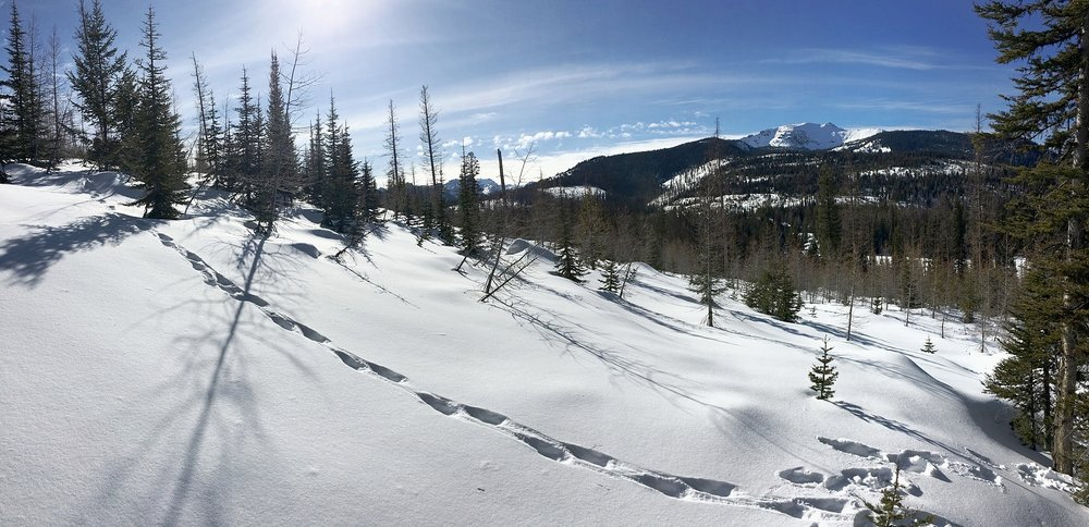 Wolverine tracks cut through winter landscape in Montana's Crown of the Continent.