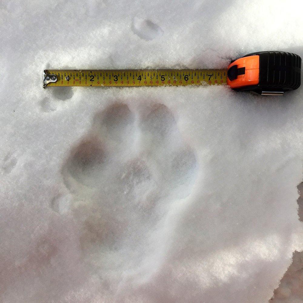 Adult lynx track