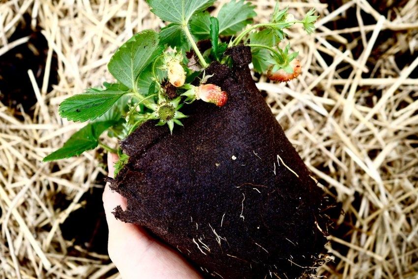 strawberries-see.listen.be_.jpg