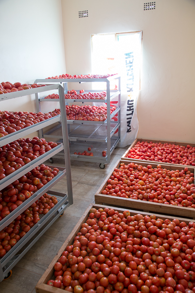 Once these tomatoes are optimally ripe, they will be canned, and sold to restaurants as pure, and in the grocery store ShopRite as whole tomatoes.