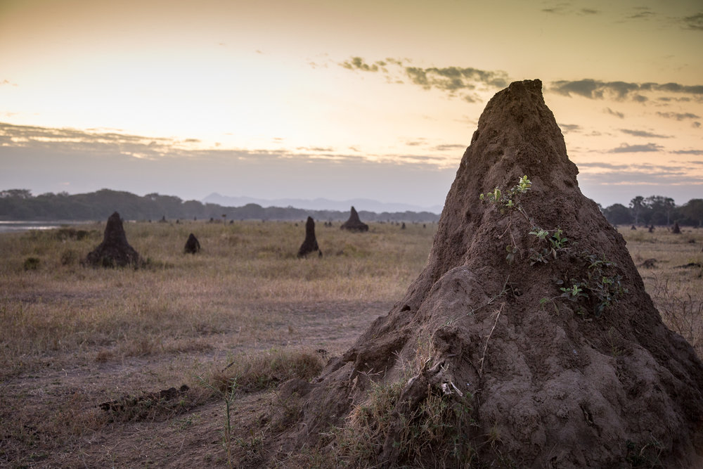 Termite mounds at sunset.