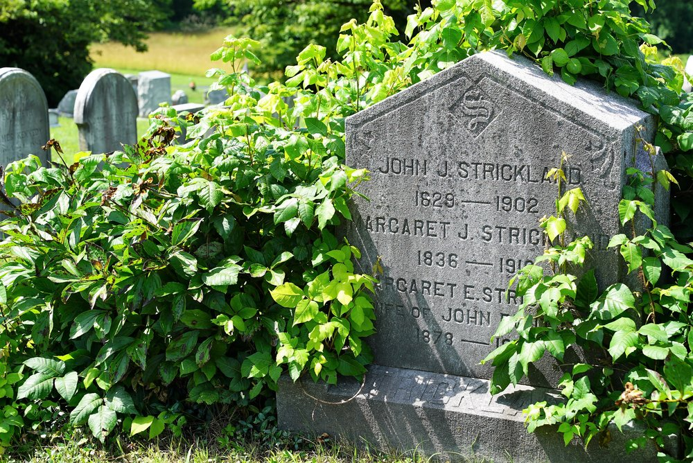 This tombstone is covered in poison ivy. Kemblesville United Methodist Church Cemetery.