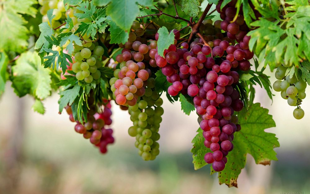 nature-beautiful-grapes-high-definition-full-screen-wallpaper-image-download.jpg