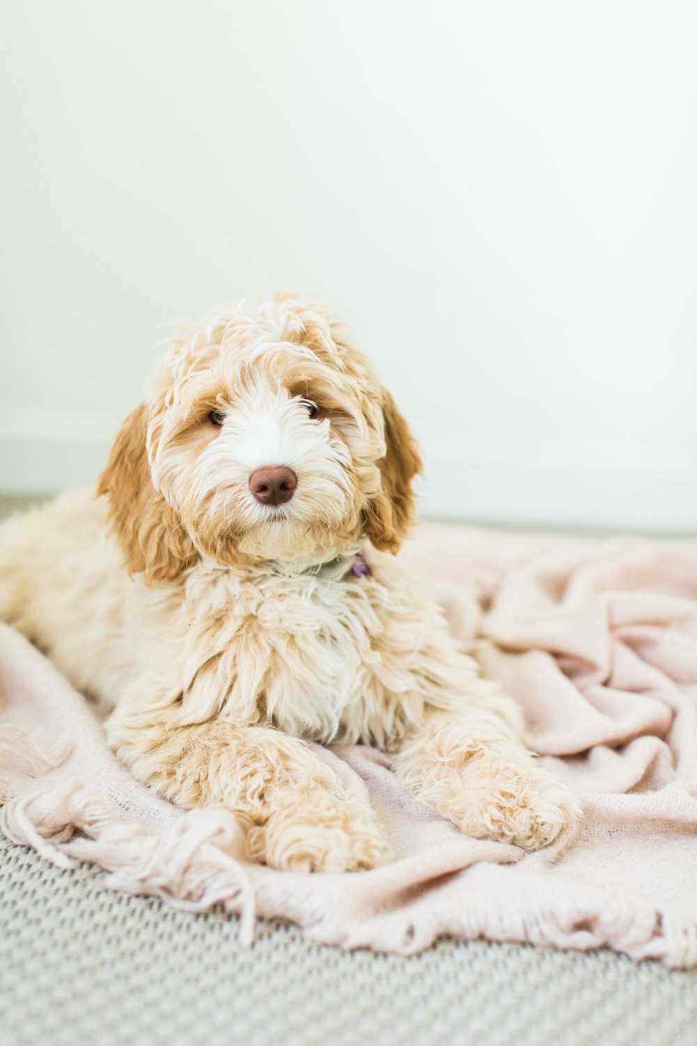 puppy_litter_labradoodle