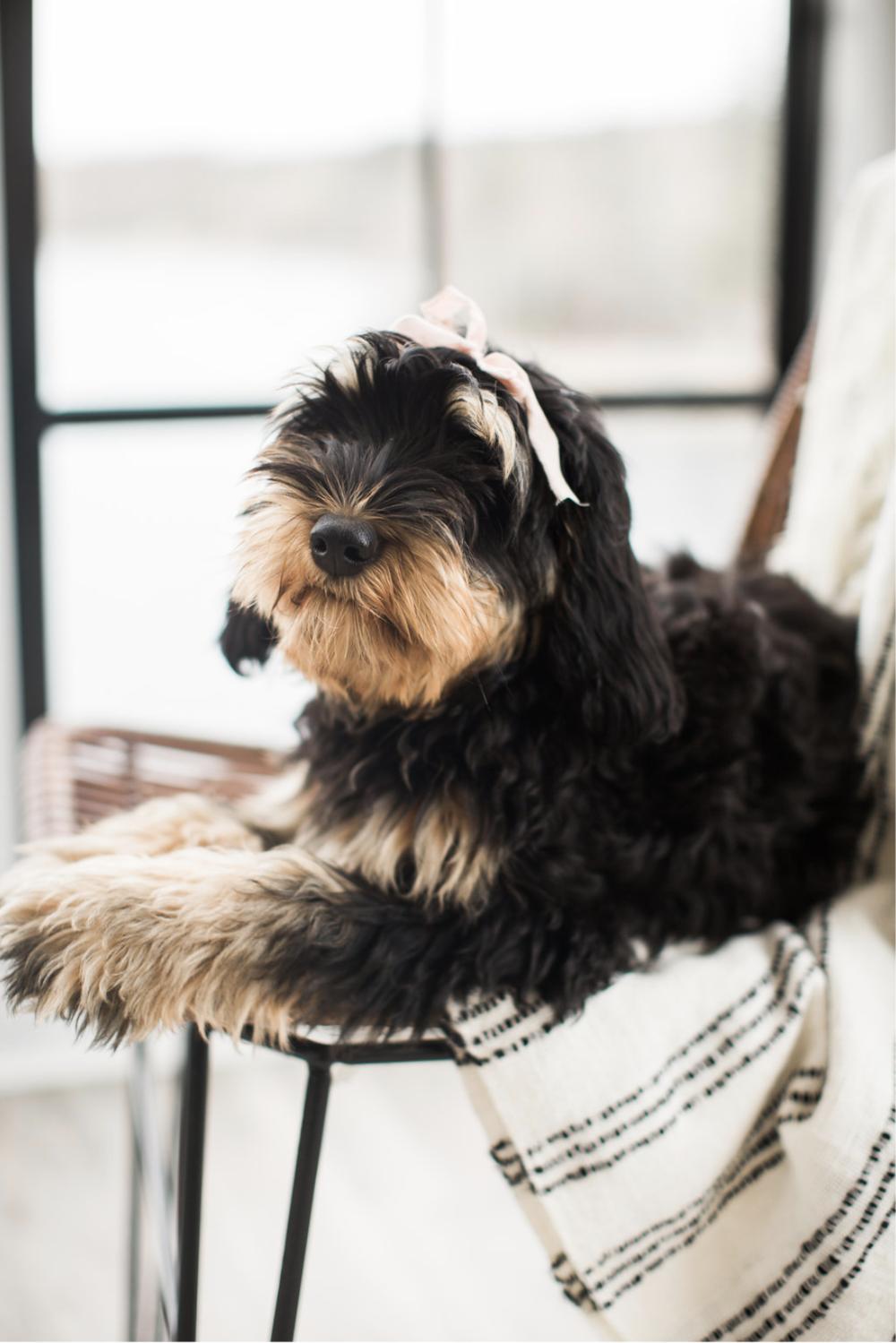 Labradoodle-Puppy-NS