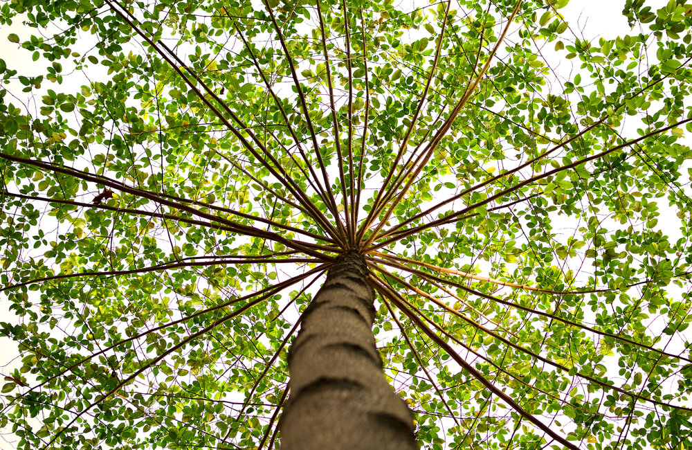 tree view from below tree top tree trunk leaves large blossoming sturdy strong symbolic growth nourishment transformation sustenance union