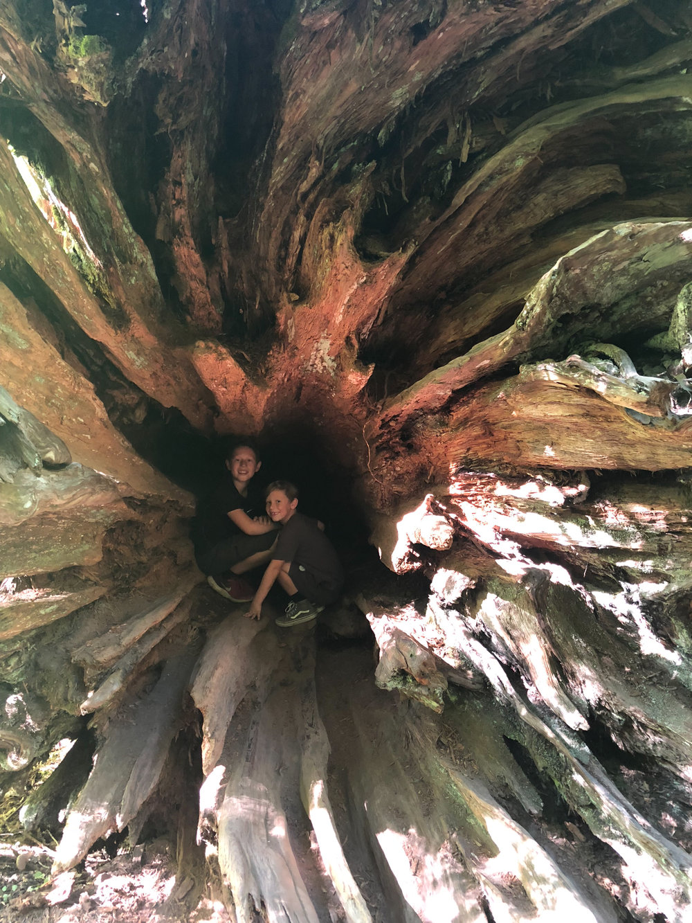 Old Growth rootball