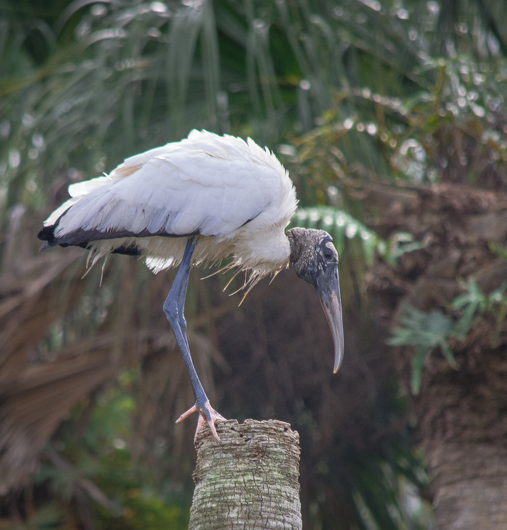 Wood Stork on perch
