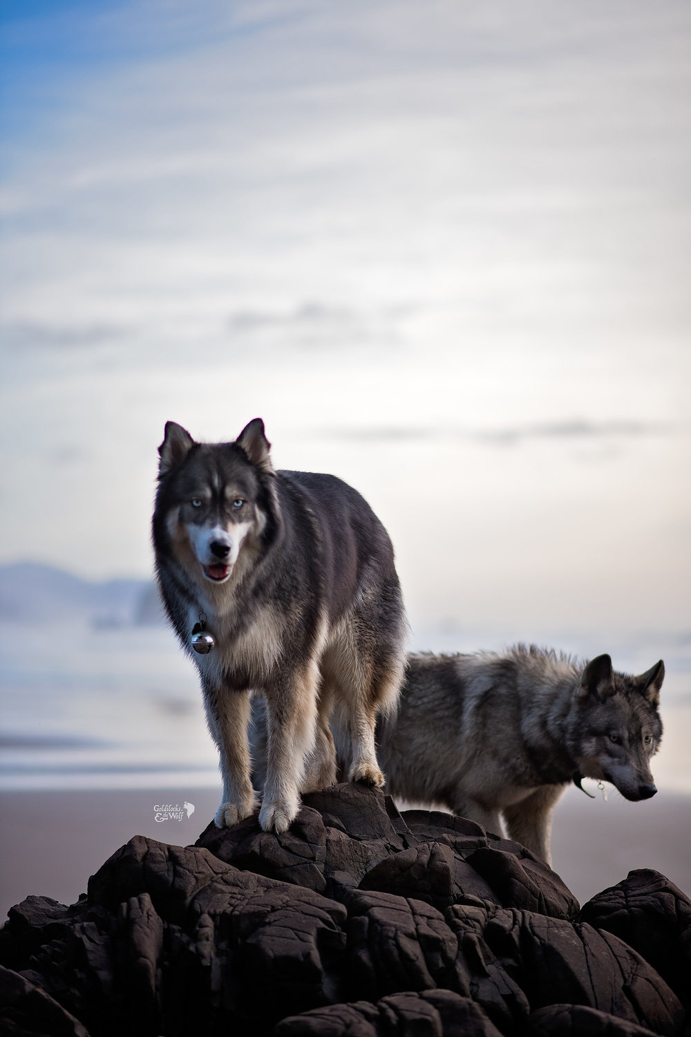 Kyro the husky and Ivar the Wolfdog