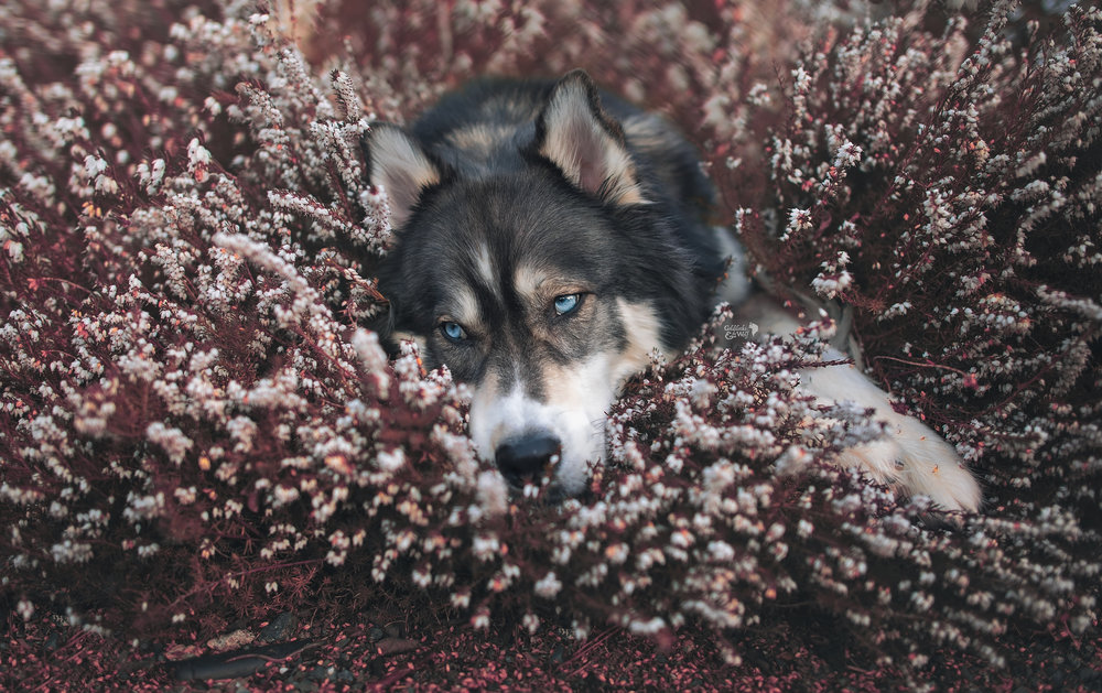 Kyro laying in the Heather bushes relaxing