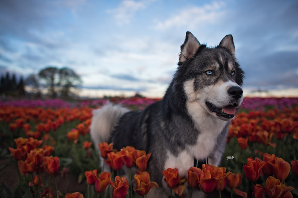 Flowers, sunrise and a husky- what could be better?