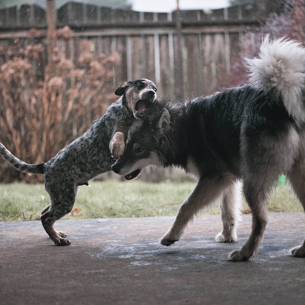 Max and Dovah having a puppy romp