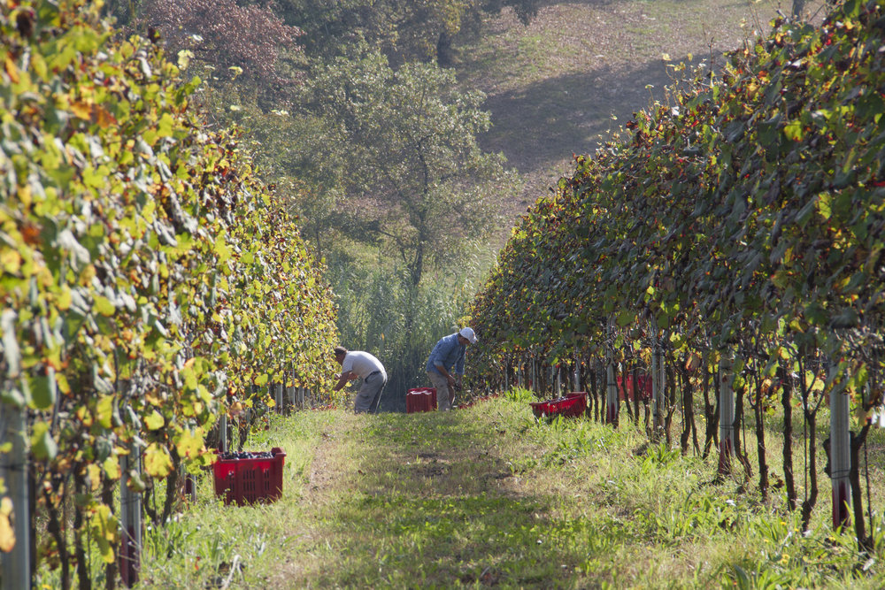harvest on a vineyard
